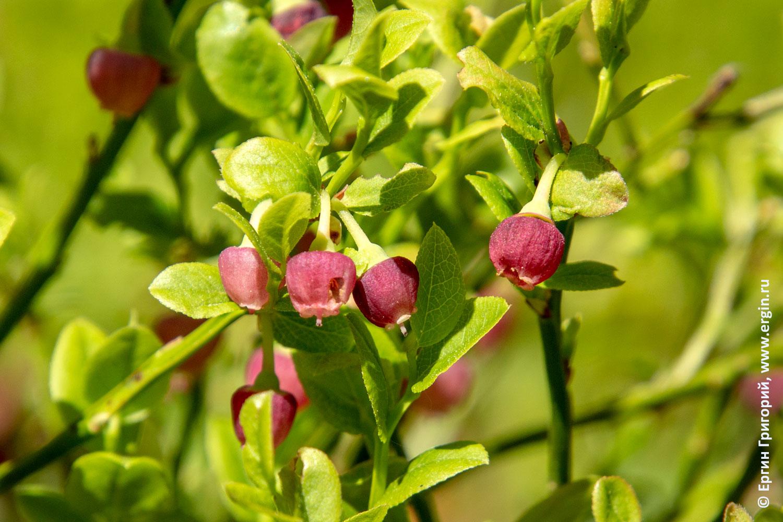 Черника цветет в кемпинге Нейтикоски
