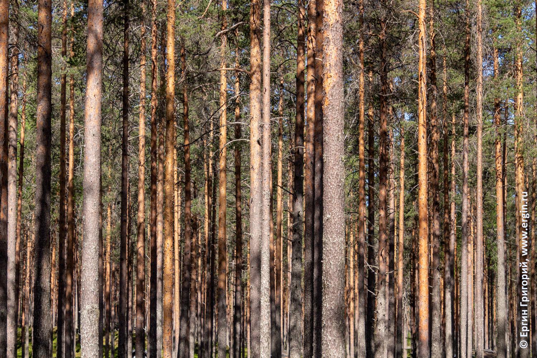 Текстура подсвеченные солнцем сосновые стволы