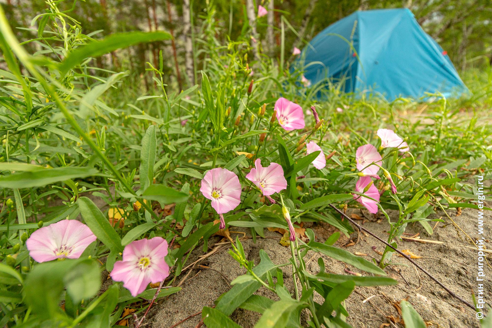 Цветы рядом с палаткой в лагере каякеров на Алтае