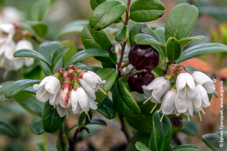 Цветы брусники цветение и прошлогодние ягоды