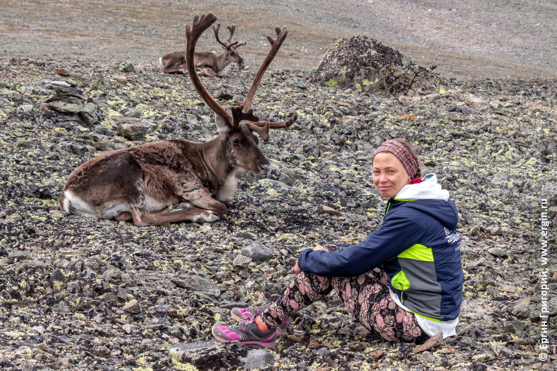 Северные олени Норвегия