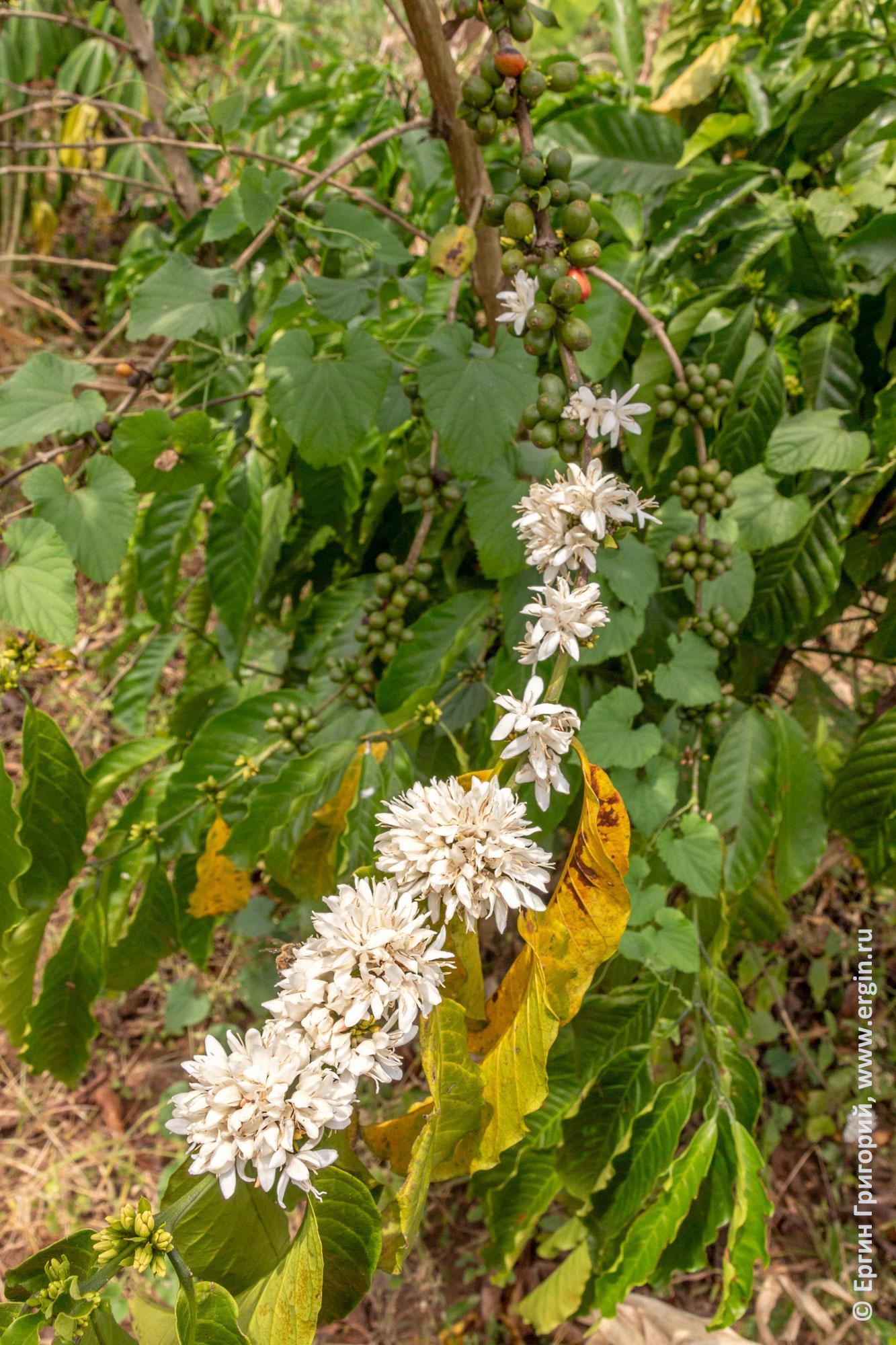 Кофе цветы листья ягоды