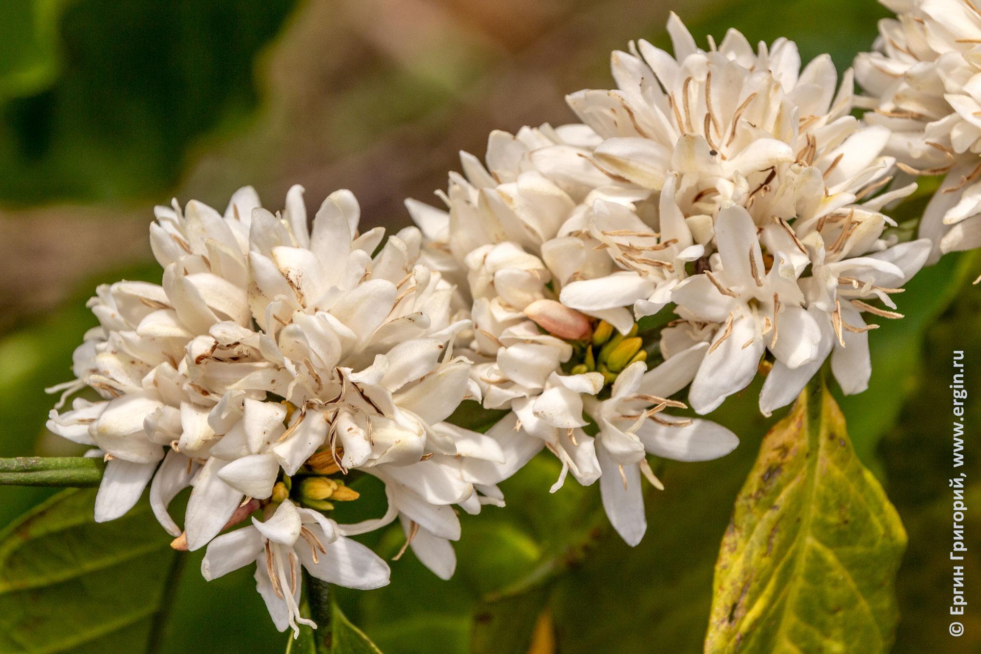 Кофе цветы