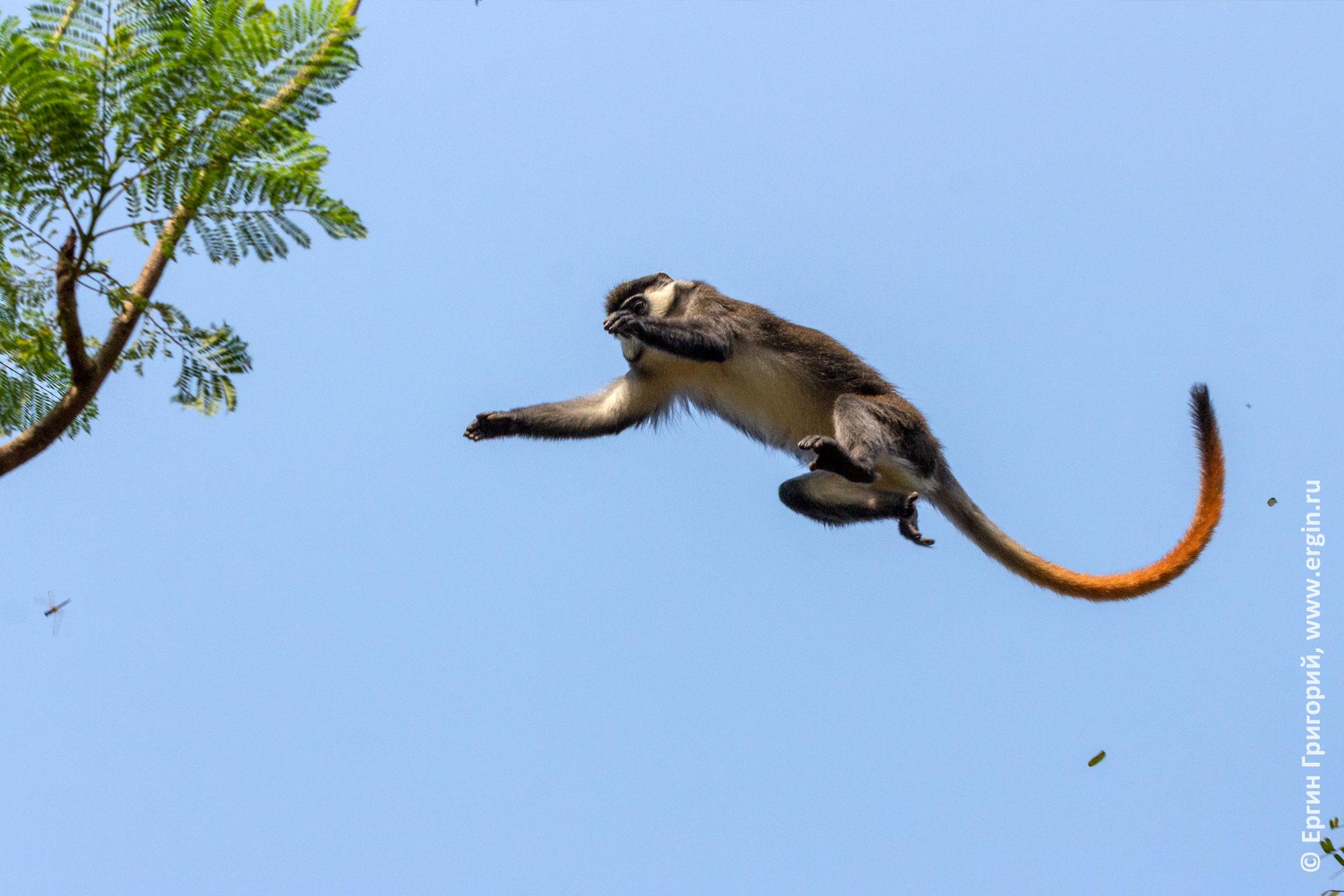 Краснохвостая обезьяна мартышка в полете