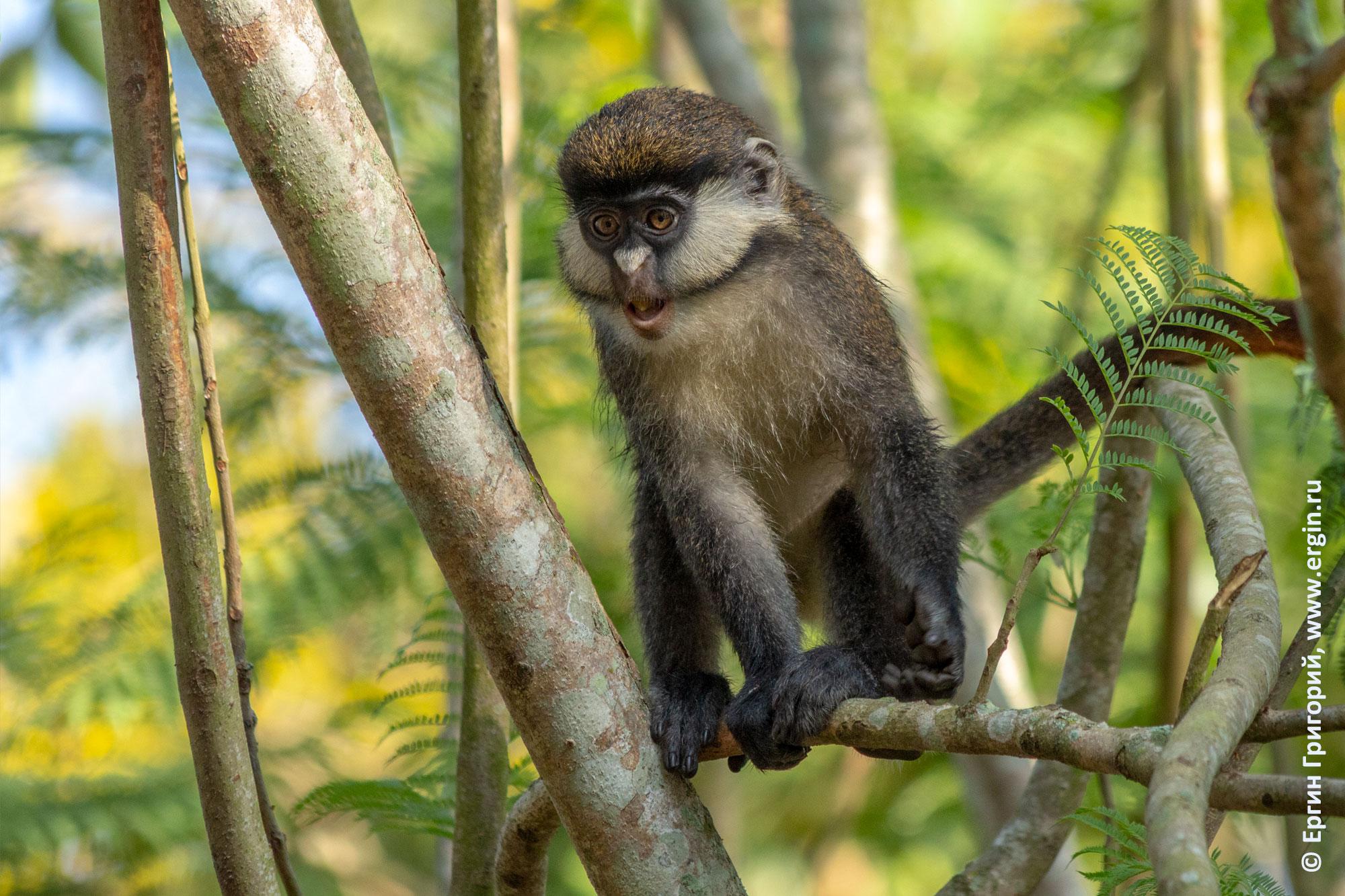 Краснохвостая обезьяна детеныш подросток