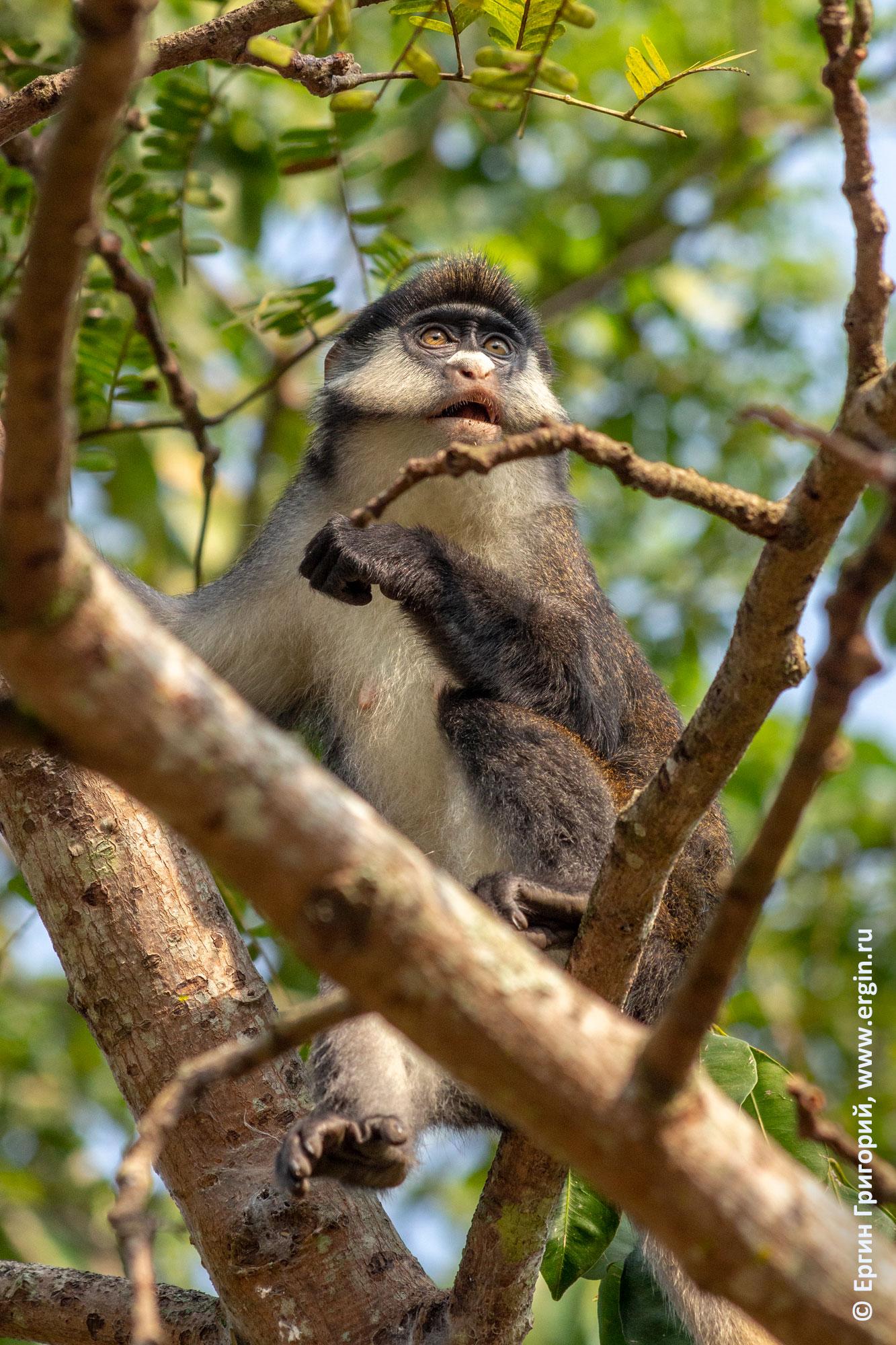 Взрослый самец краснохвостой обезьяны