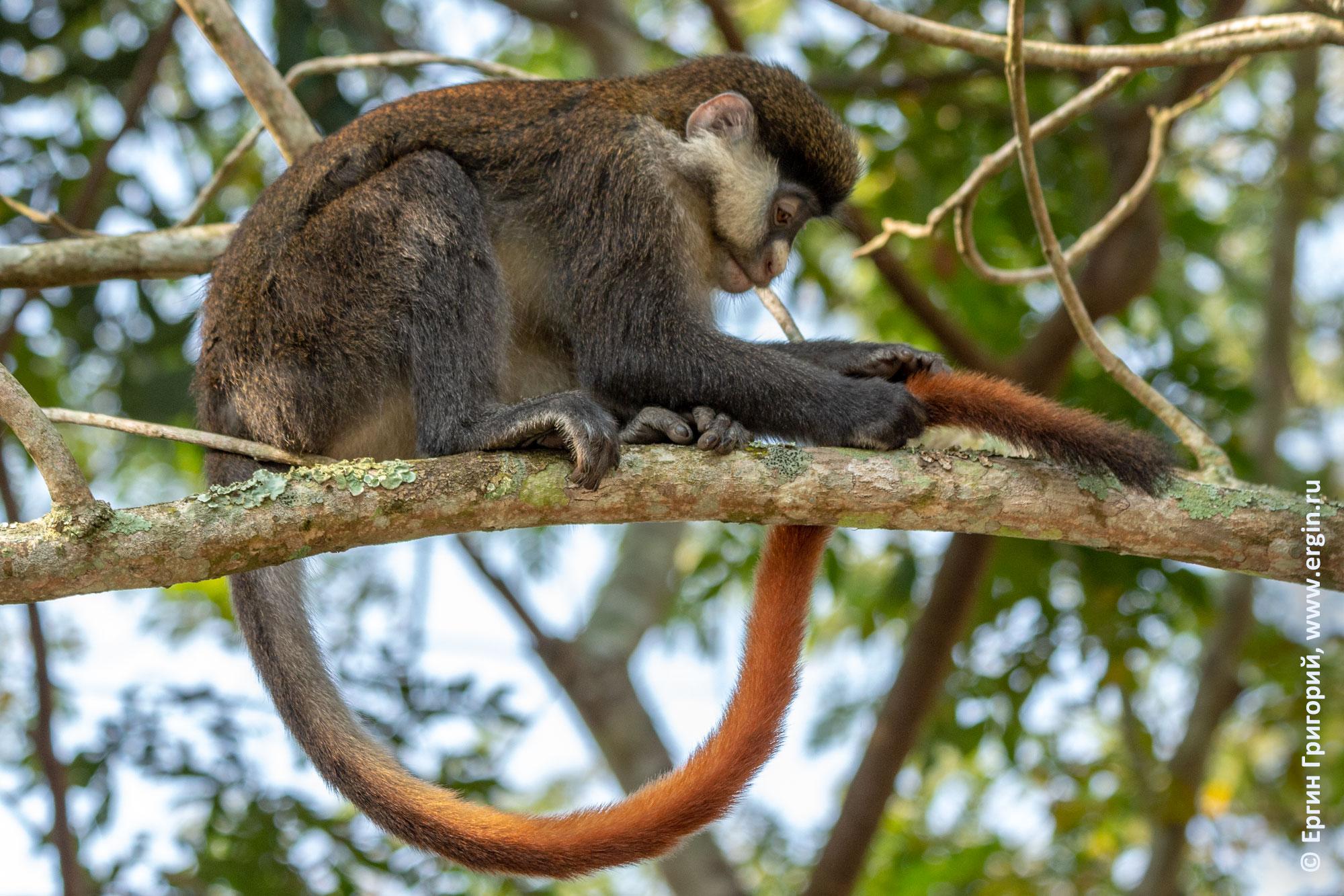 Краснохвостая мартышка смотрит на свой красный хвост обезьяна на дереве в Африке Уганда