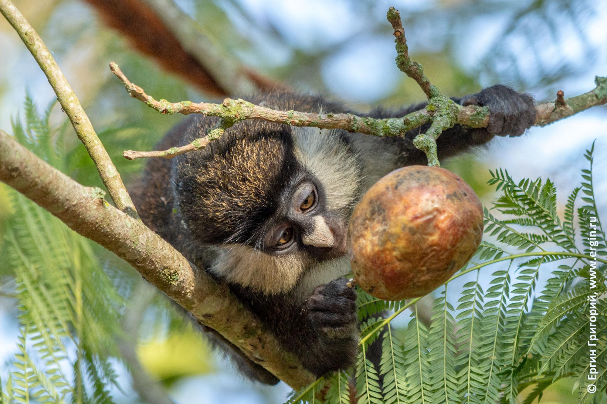 Краснохвостая обезьяна пробует маракуйю на сучке