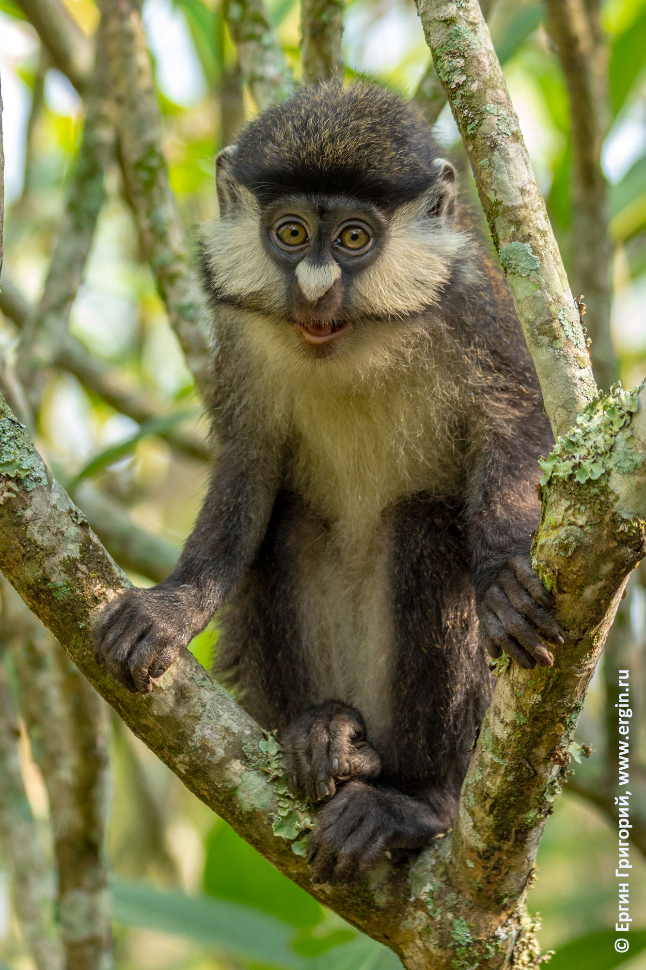 На ветках сидит краснохвостая обезьяна