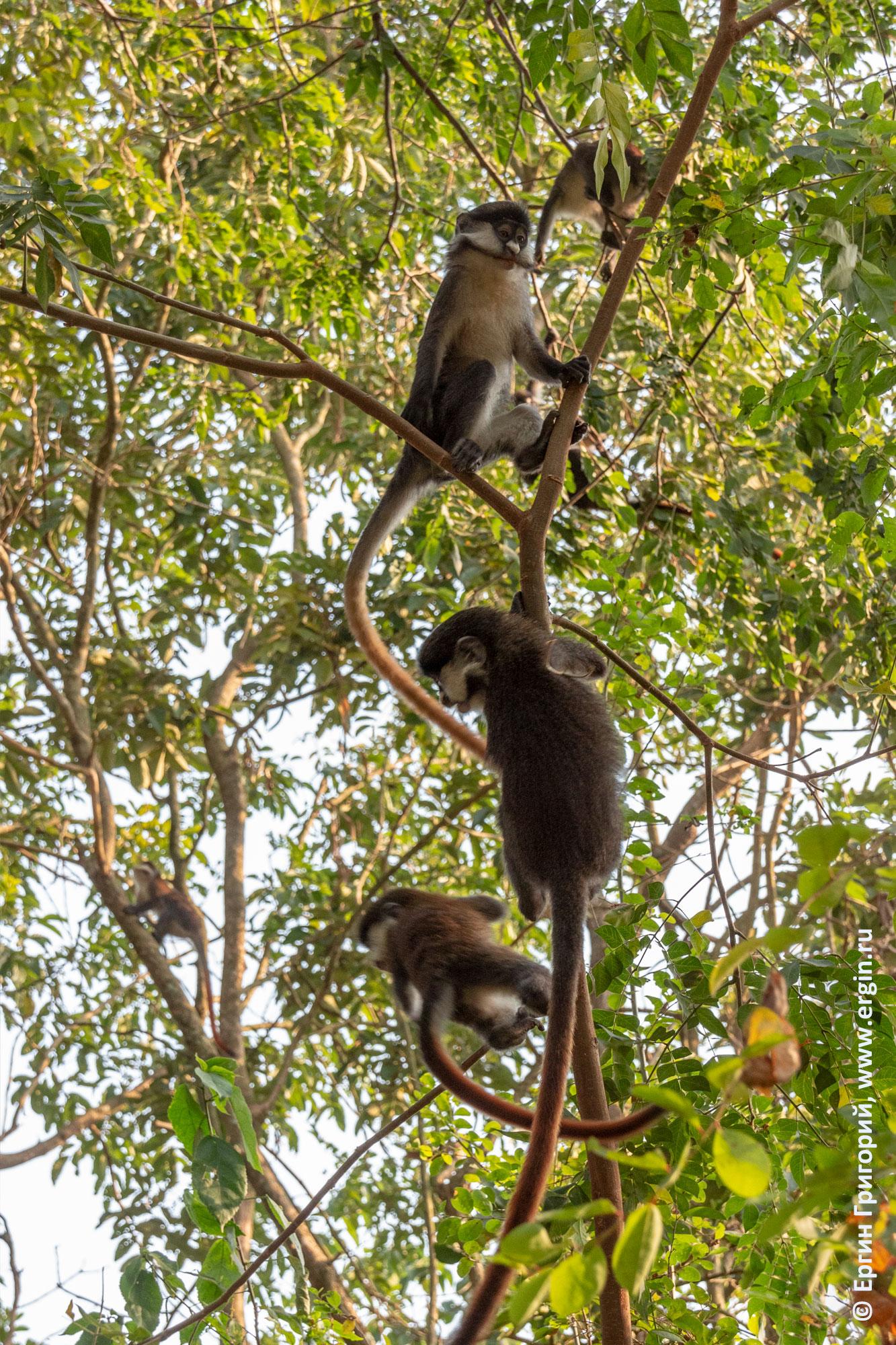 На дереве играют краснохвостые обезьяны Африка Уганда