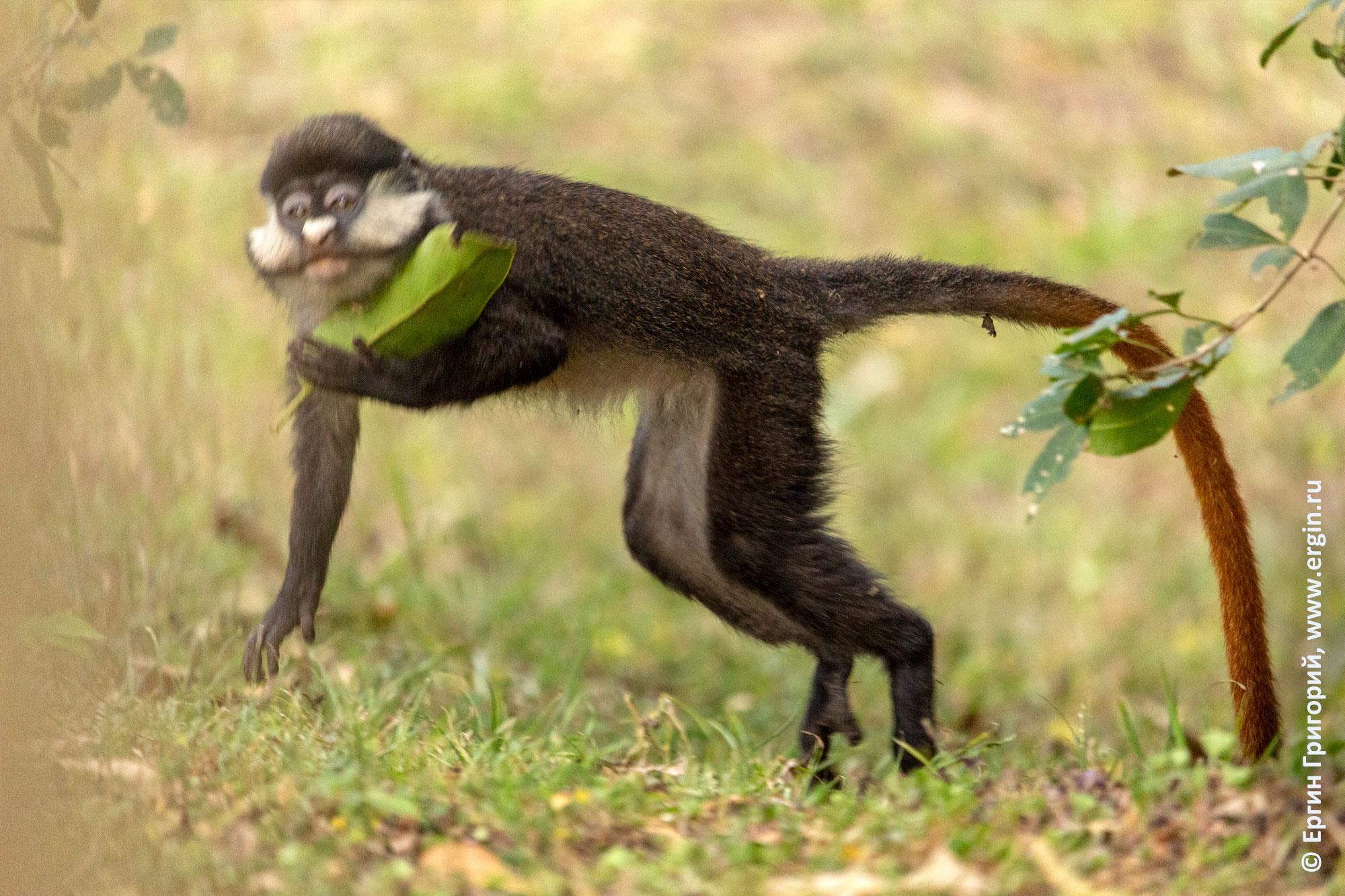 Краснохвостая обезьяна несет в лапах лист