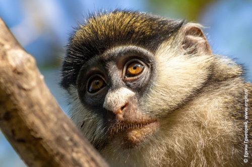 Морда лицо краснохвостой обезьяны в Уганде