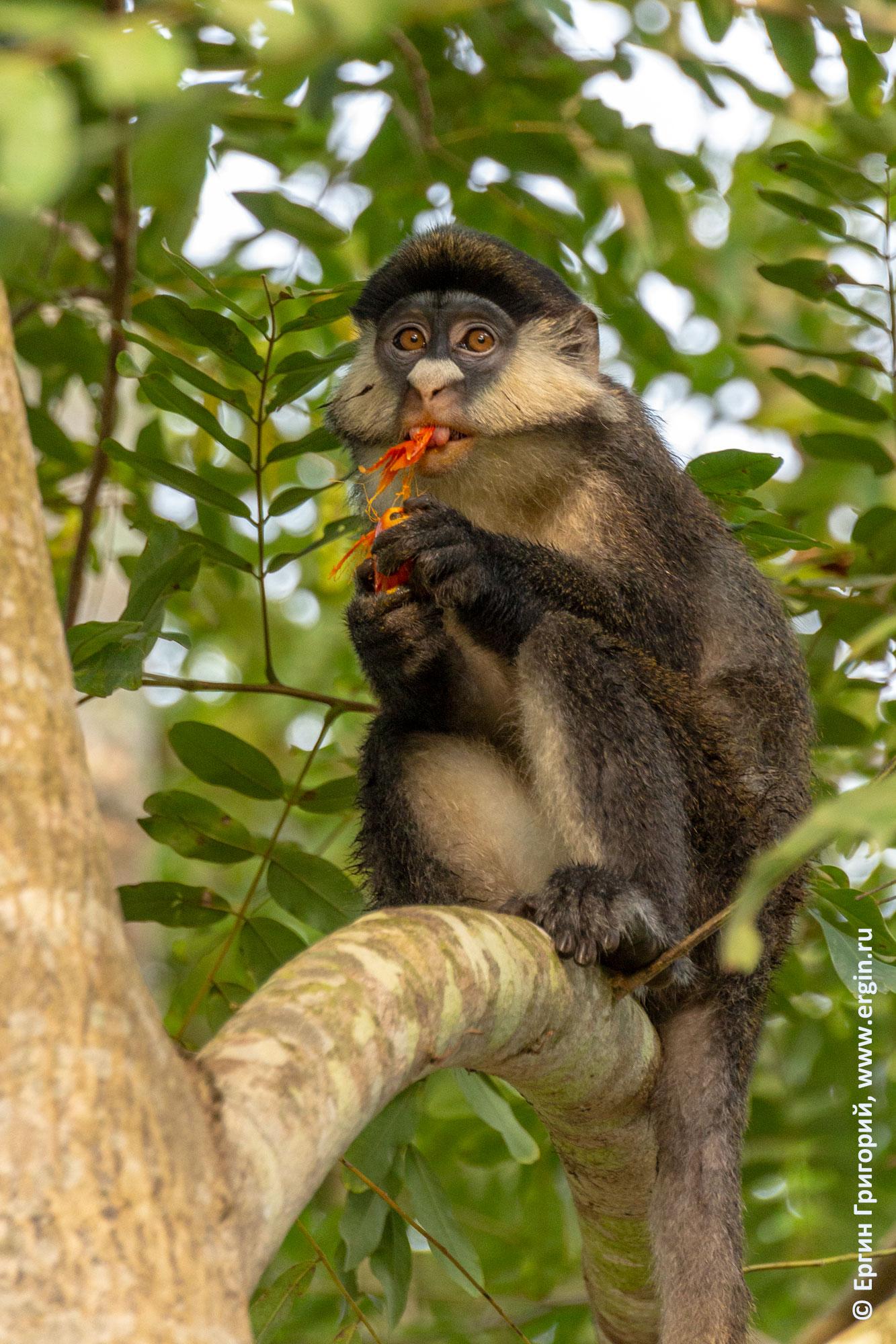 Обезьяна краснохвостая мартышка поедает экзотический плод