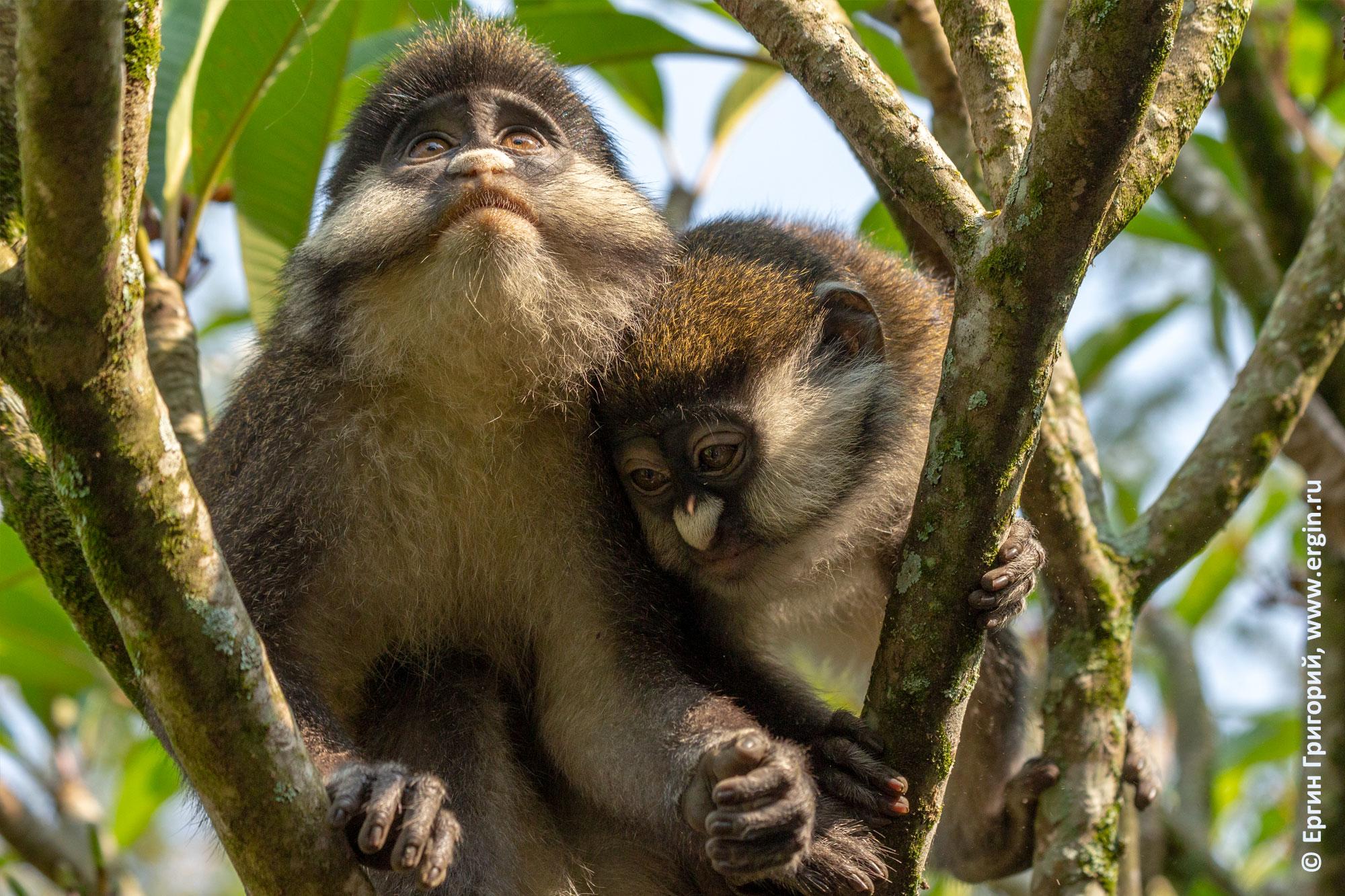 В Уганде грустят обезьяны краснохвостые
