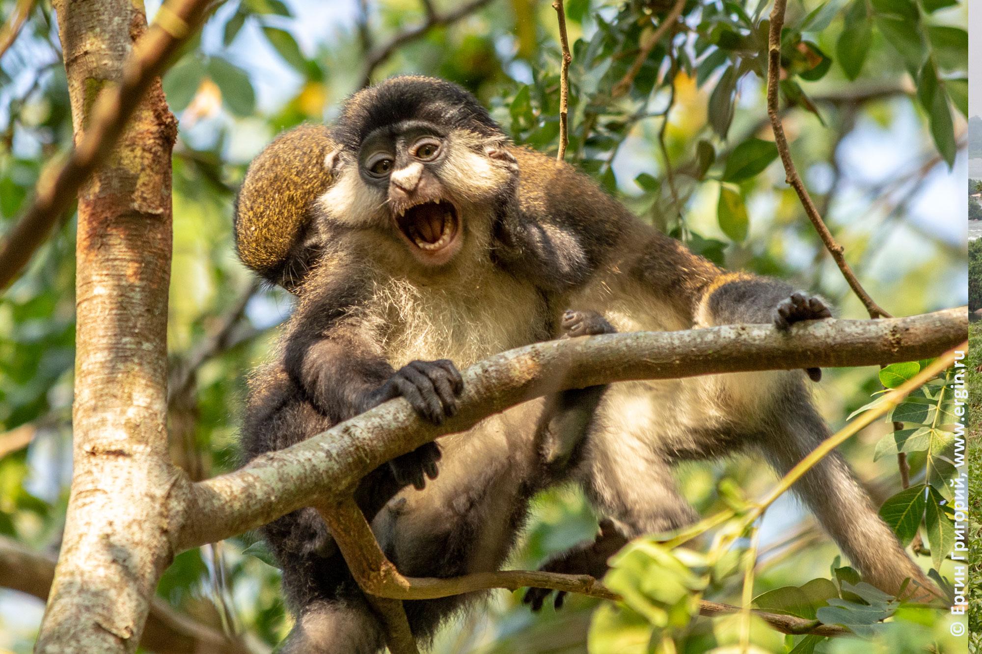Испуг краснохвостой обезьяны