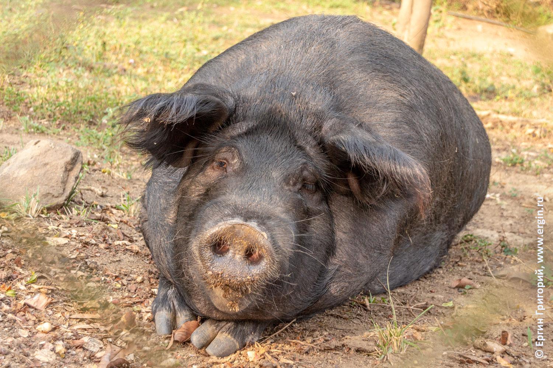 Свинка милая как зайка