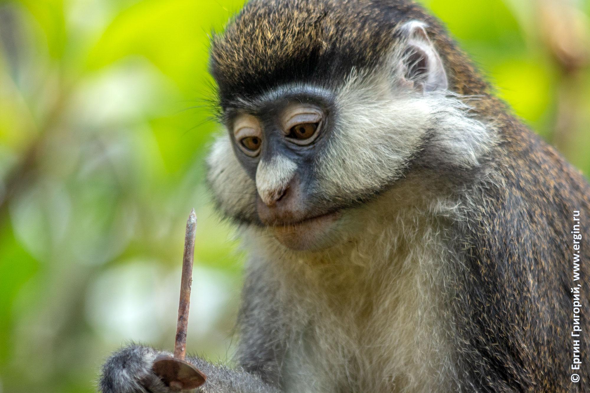 Краснохвостая мартышка обезьяна держит гвоздь Африка Уганда