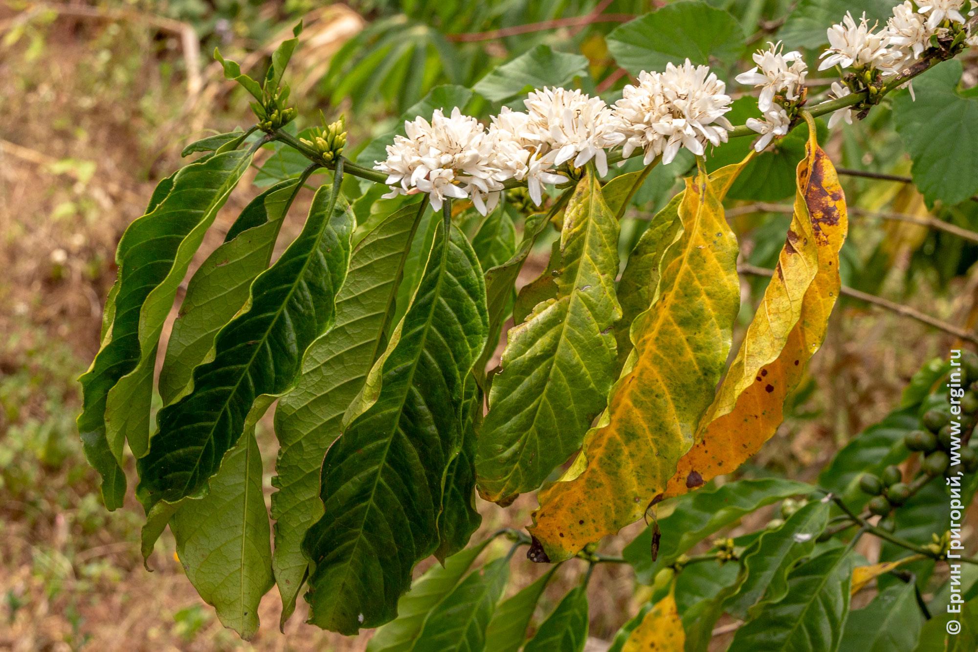Кофе - цветы и листья