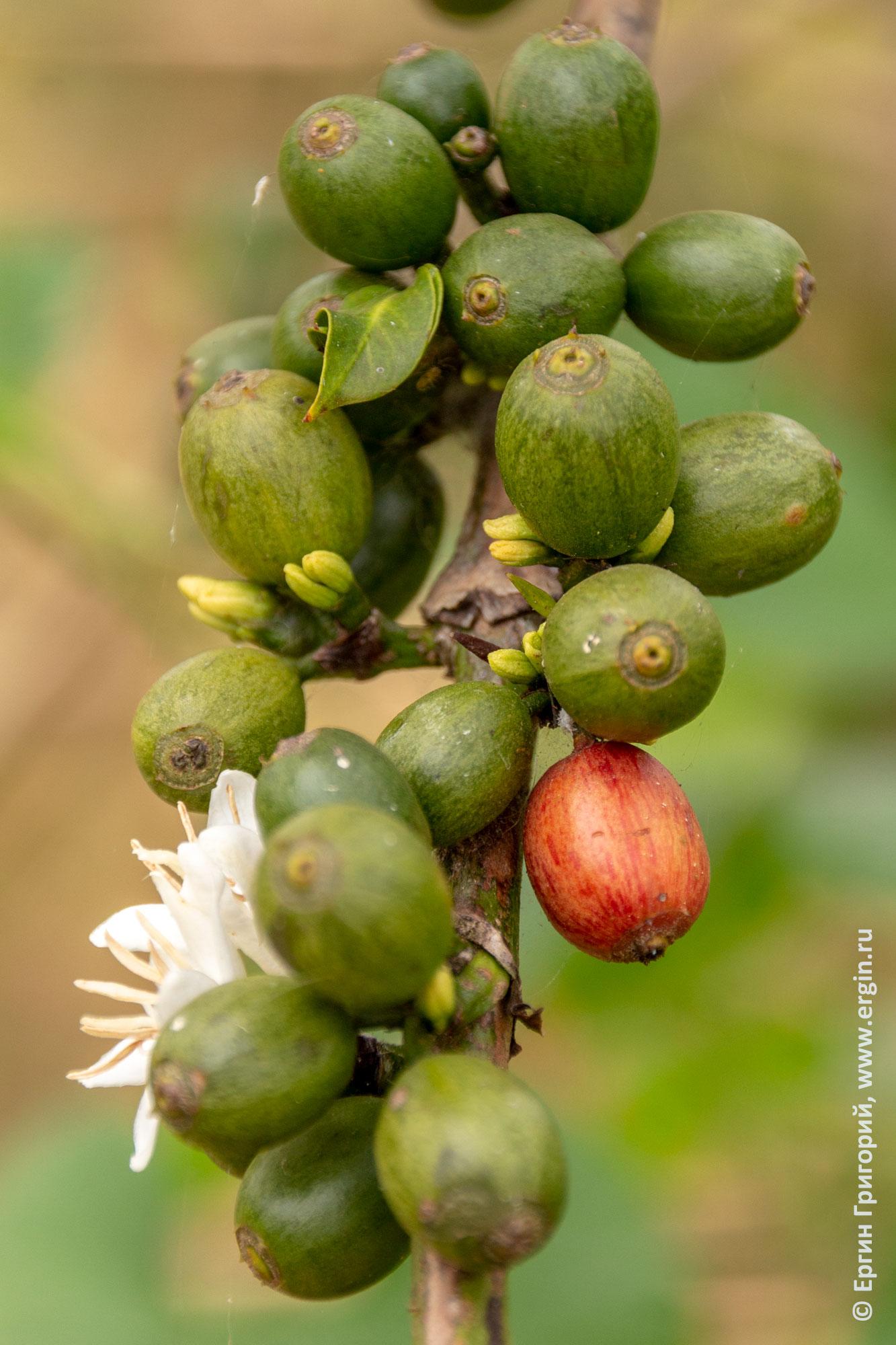 Кофе ягоды зерна
