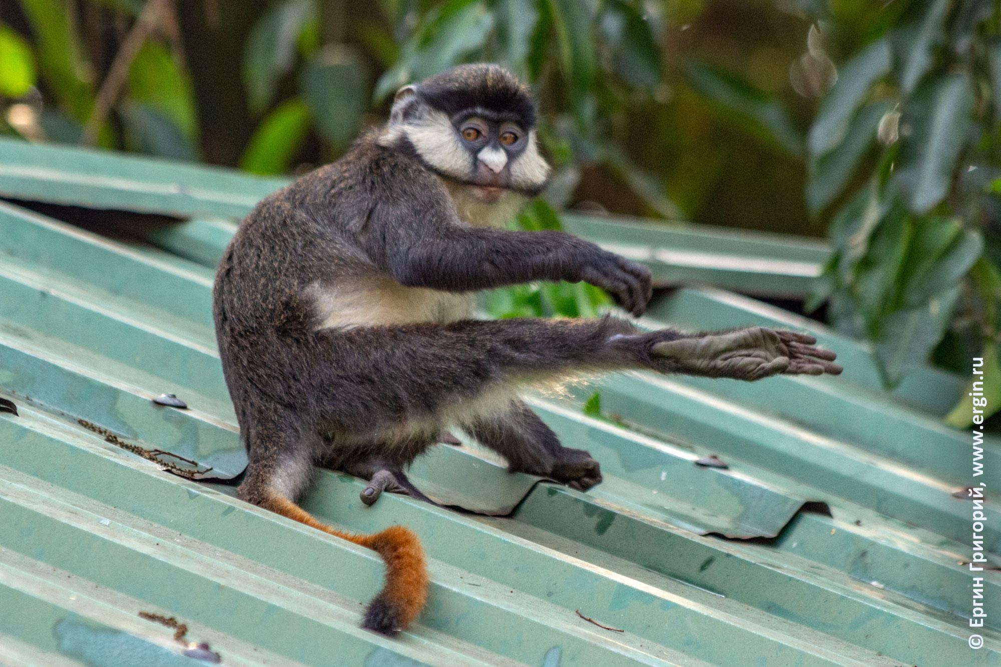 Краснохвостая мартышка обезьяна чешет пятку