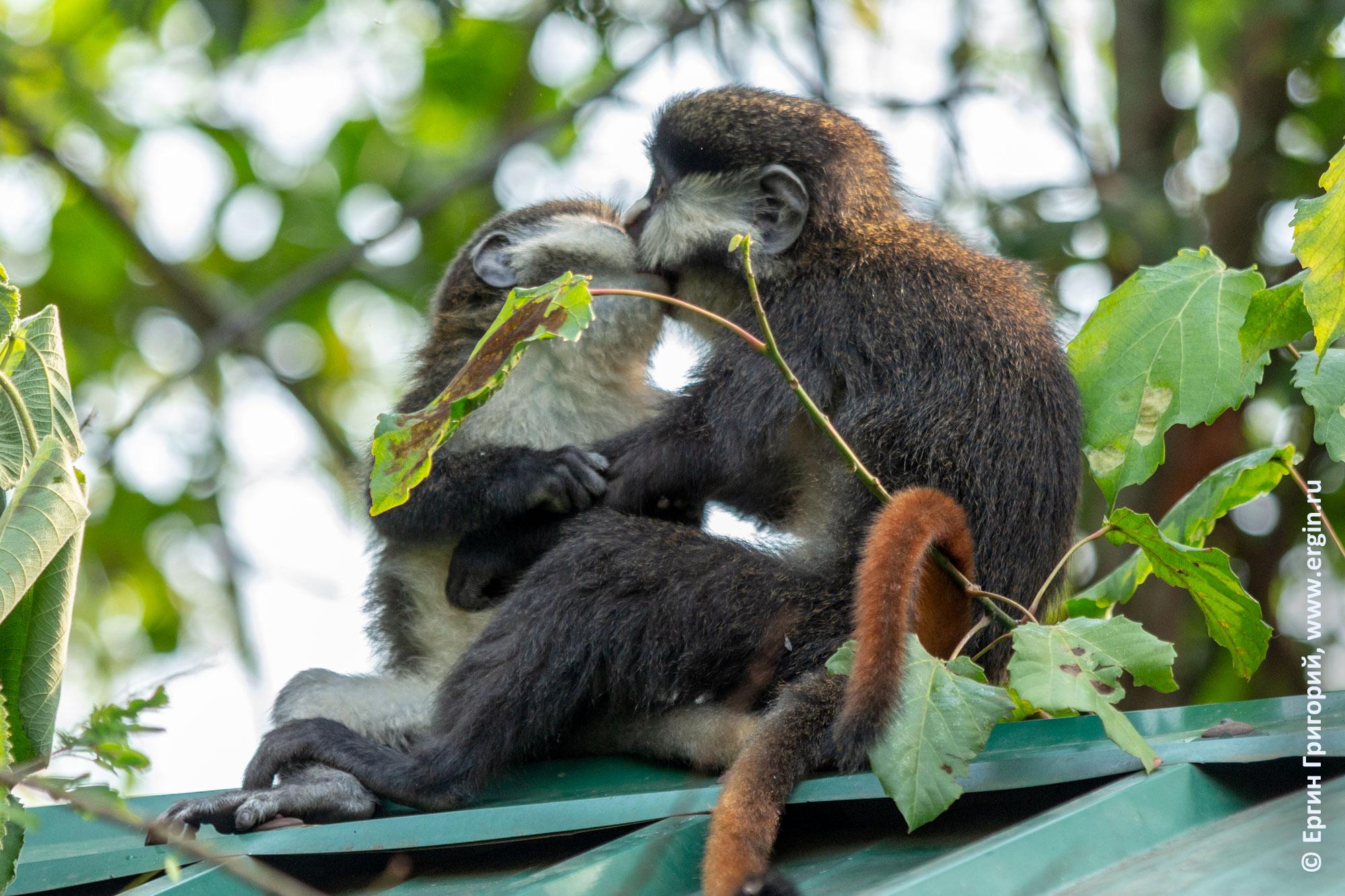 Краснохвостые обезьяны мартышки Шмидта целуются