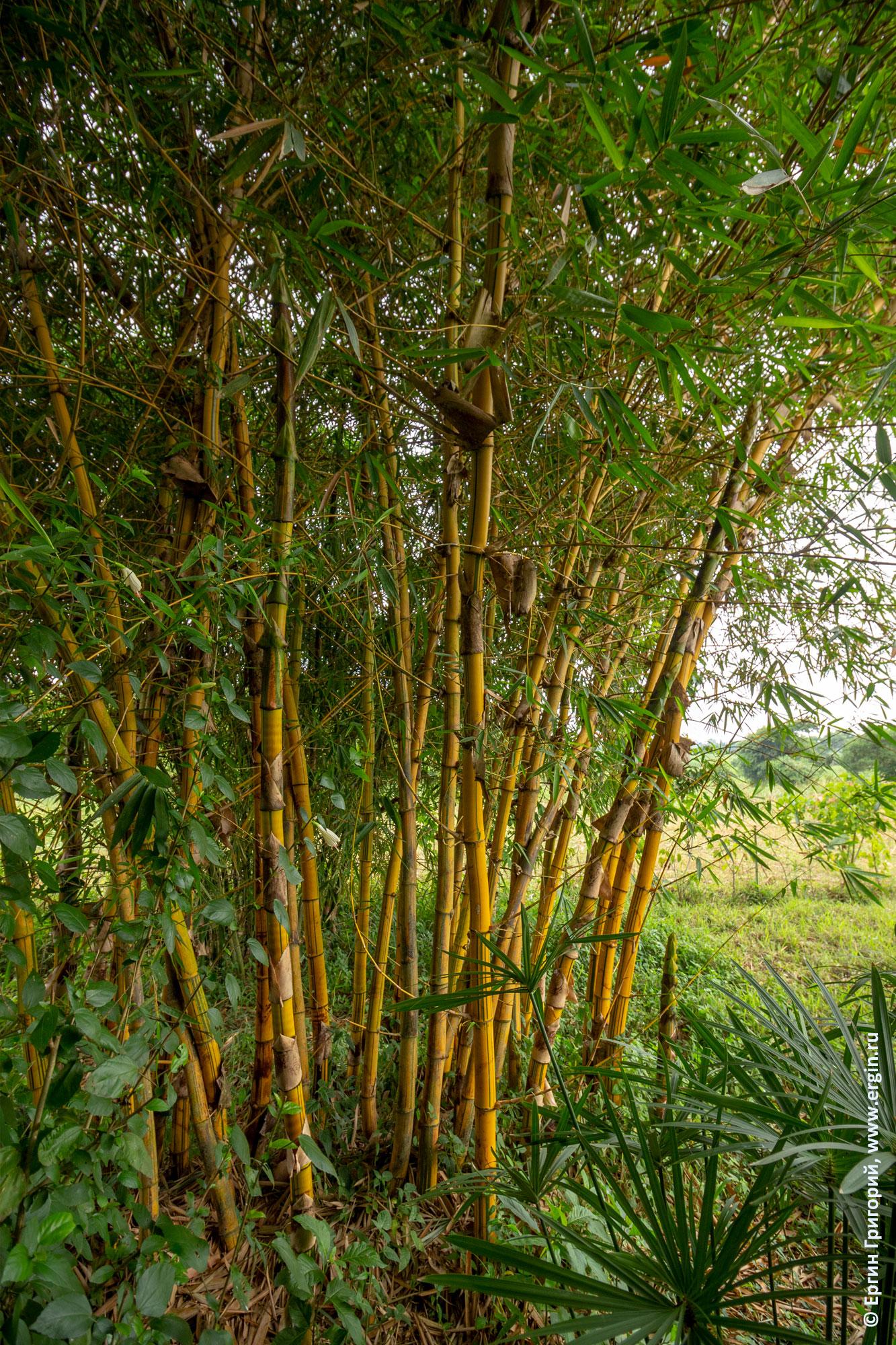 Заросли бамбука Африка