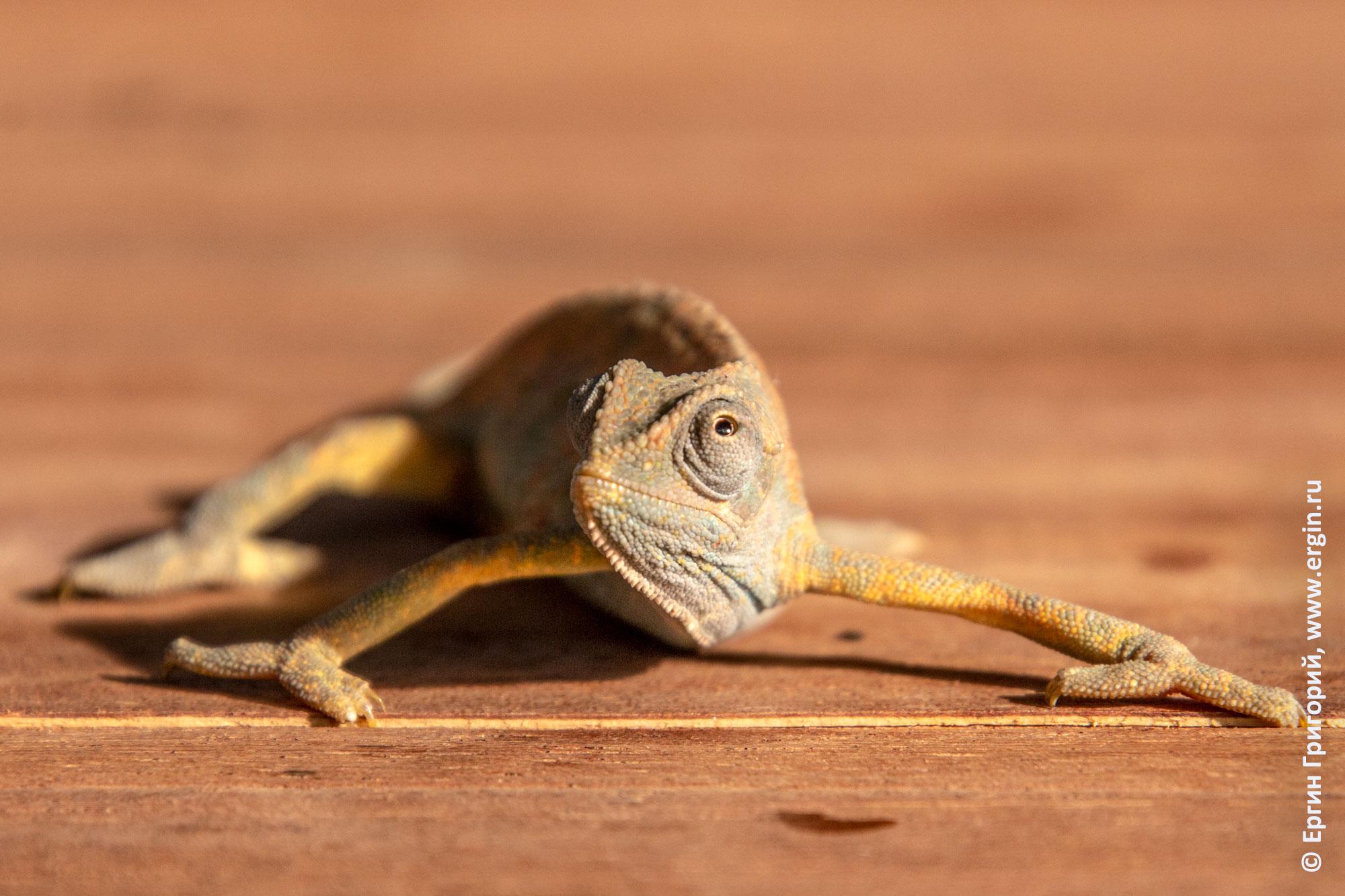 Разведенные ноги хамелеона и безумный взгляд