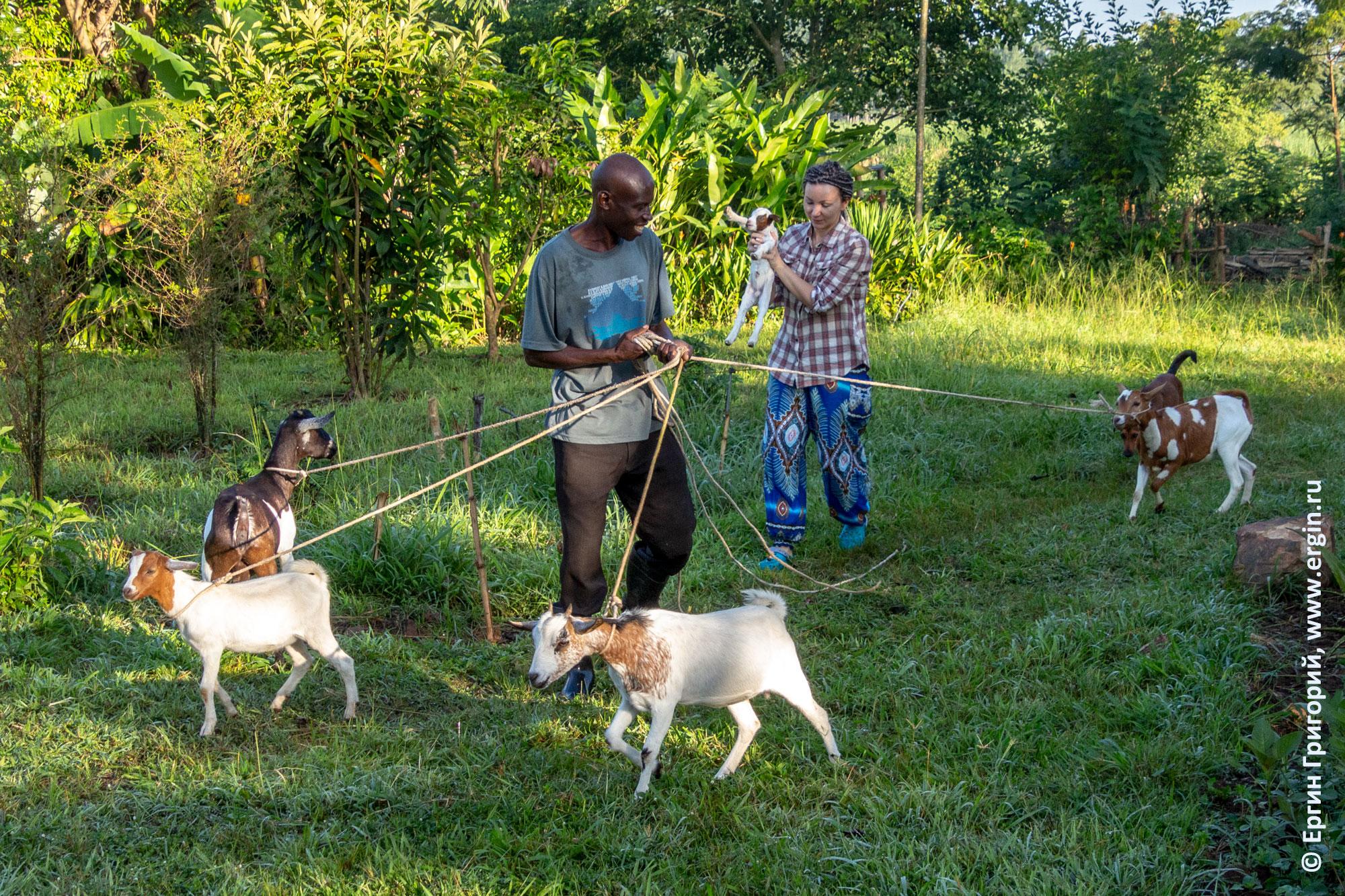 Выпас коз на ферме Дженни в Уганде Африка