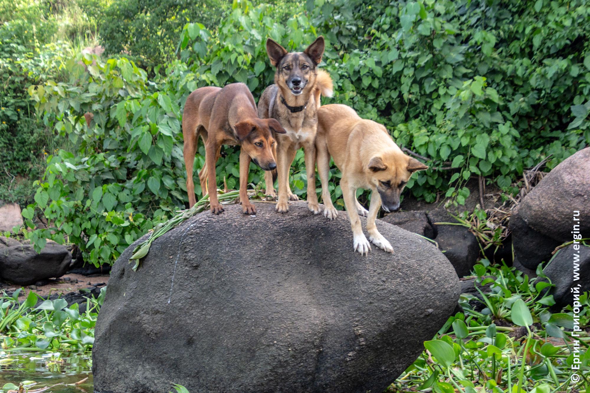 Собаки с фермы Дженни в Уганде