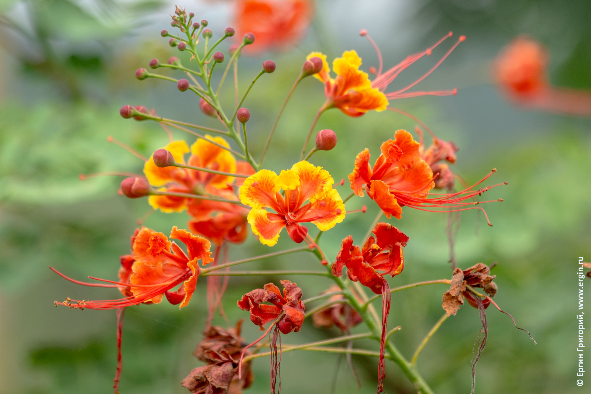 Цезальпиния Caesalpinia pulcherrima