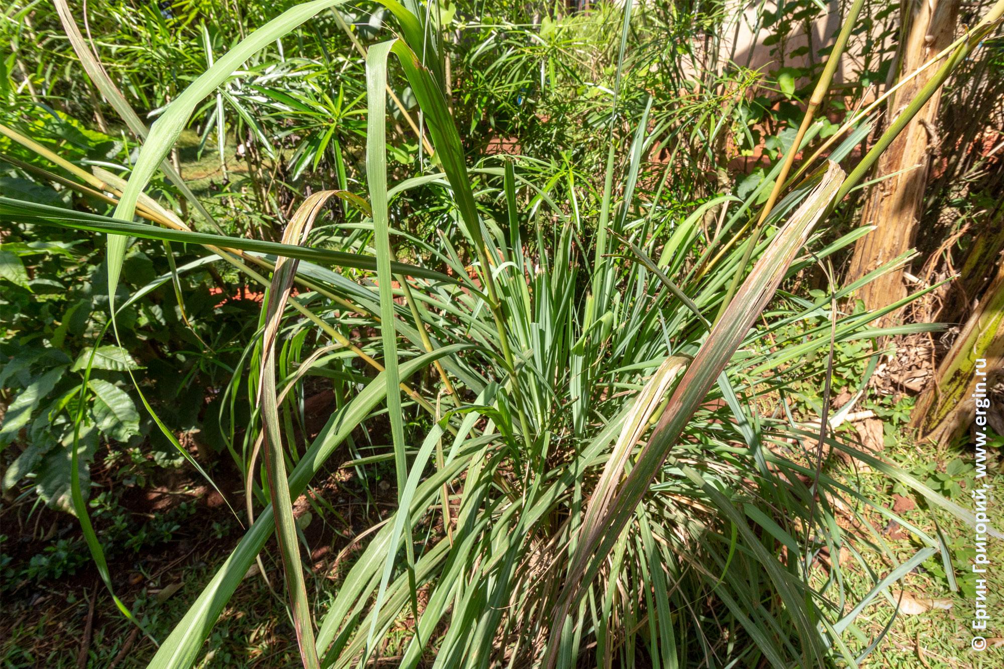 Lemon Grass Лимонная трава чай в Африке