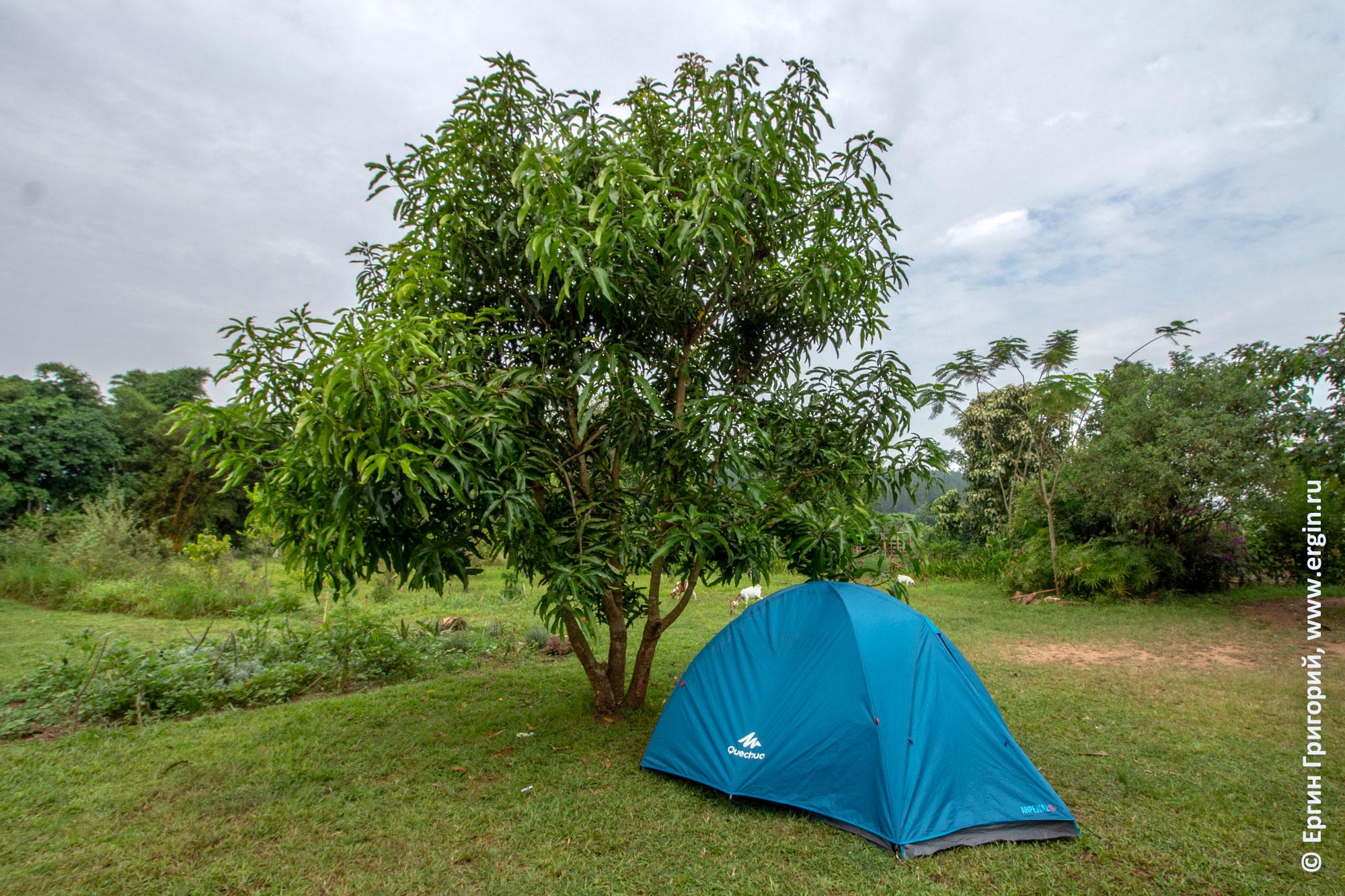 Манговое дерево и палатка