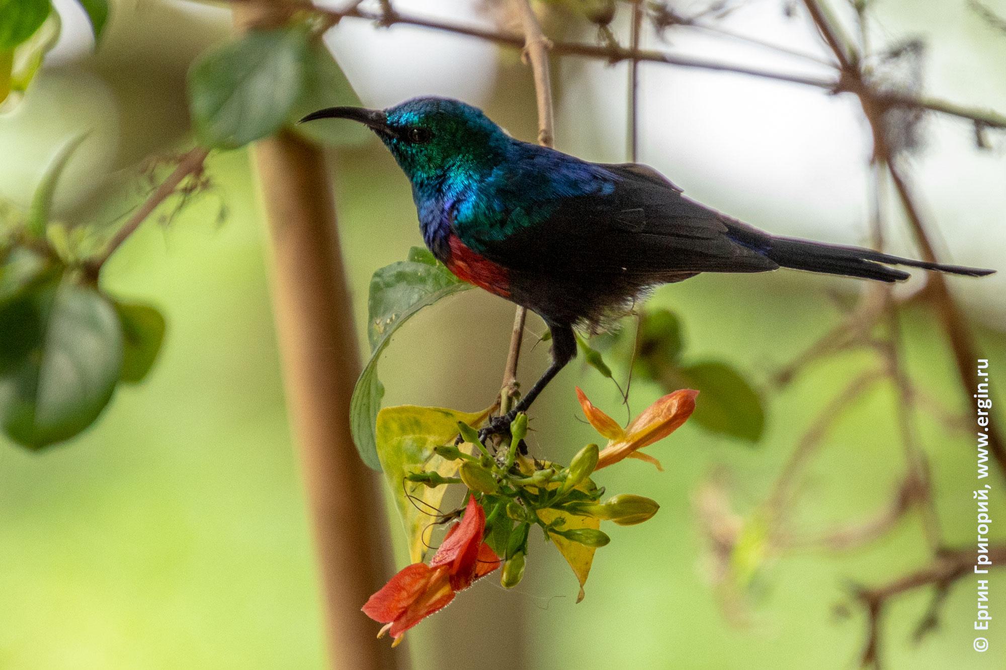 Нектарница птица Уганда