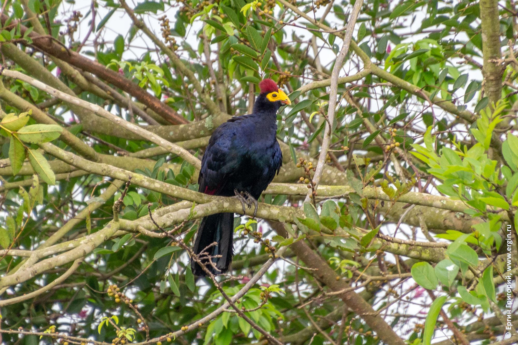 Ross's Turaco Турако птица Уганда