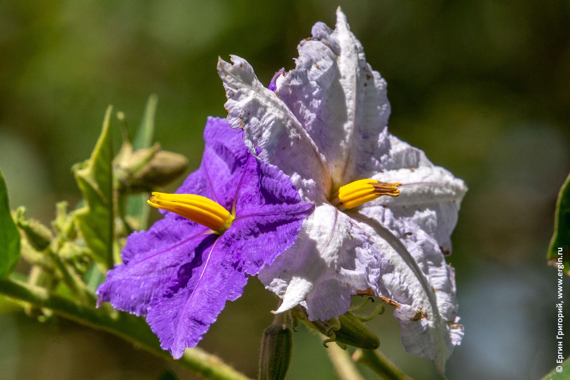 Паслён крупноцветковый два цветка разного цвета на одном растении