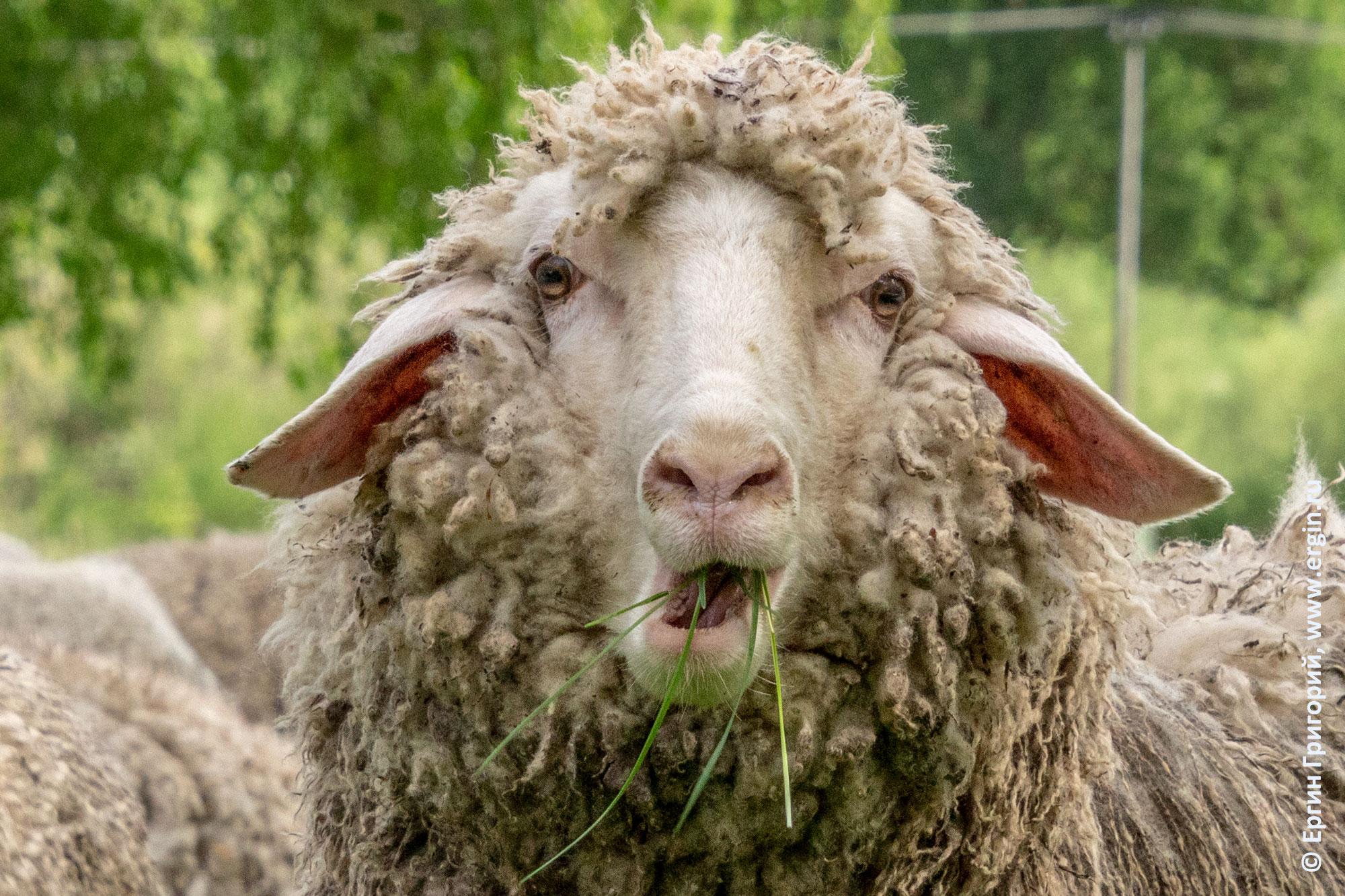 Недоуменная овца