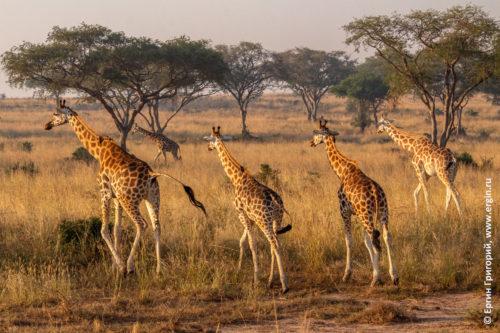 Жирафы в саванне Африка Уганда сафари