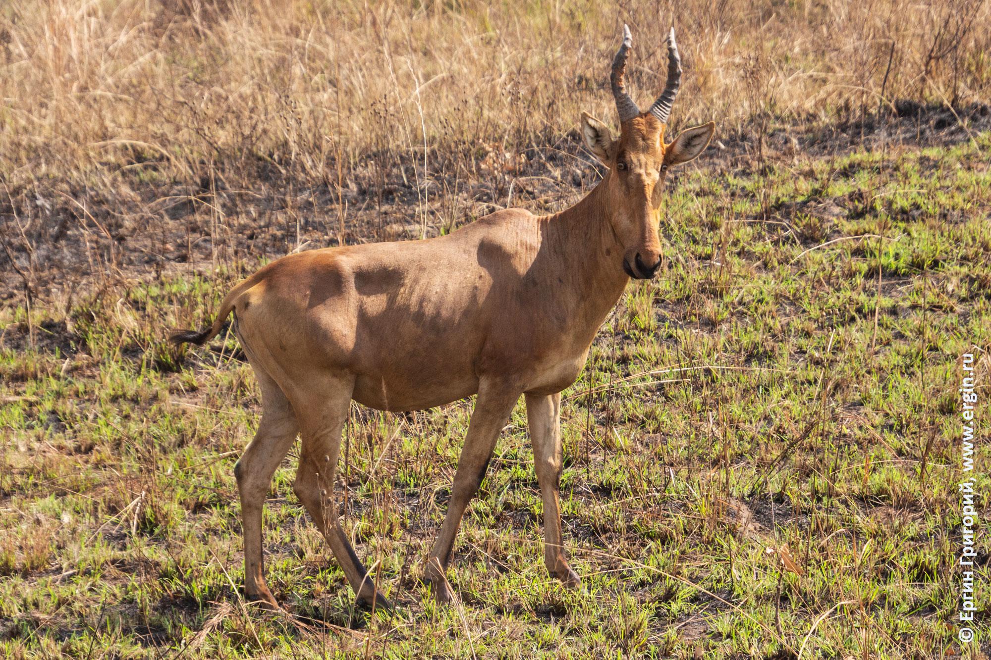 Антилопа Джексона конгони в Африке сафари Уганда