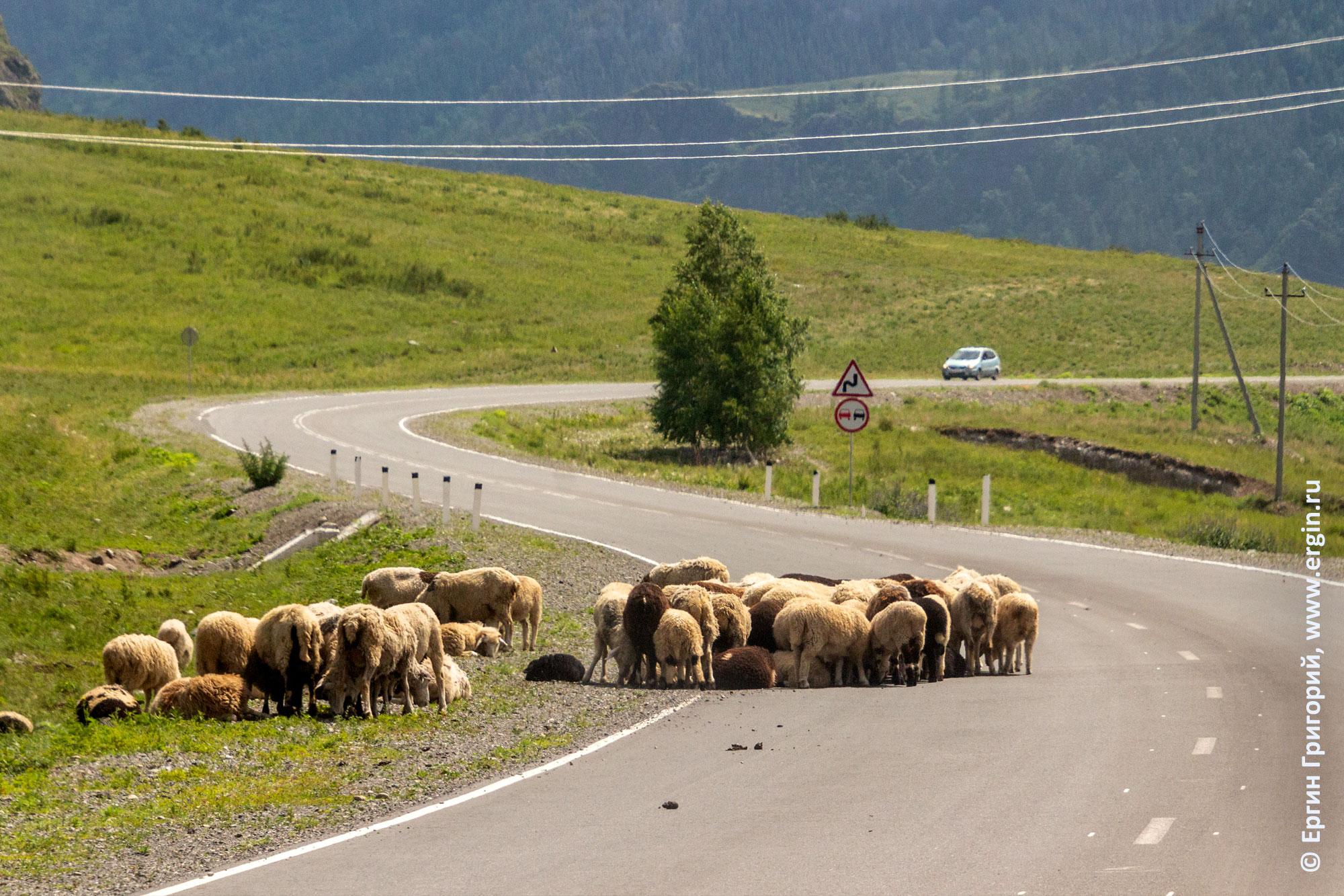 Алтайская дорога вдоль Катуни, бараньи стада