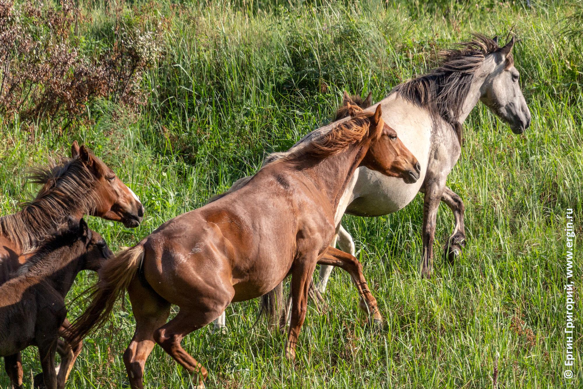 Алтайские лошади кони