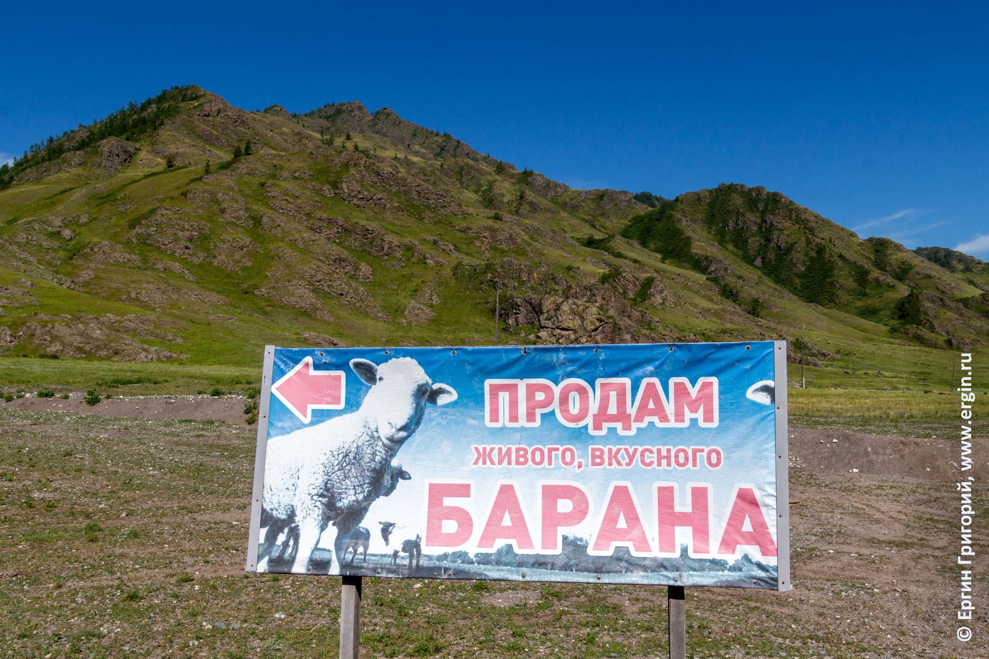 Продам живого вкусного барана объявление на Алтае